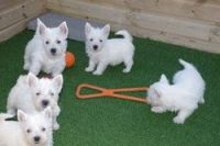 West Highland White Terrier Puppies for sale in Charleston, WV, USA. price: NA