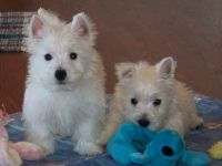 West Highland White Terrier Puppies for sale in Columbia, SC, USA. price: NA