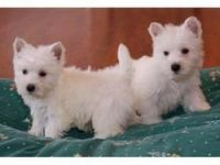 West Highland White Terrier Puppies for sale in Los Angeles, CA, USA. price: NA