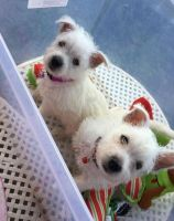 West Highland White Terrier Puppies for sale in Springfield, MA 01101, USA. price: NA