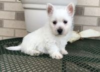 West Highland White Terrier Puppies for sale in Rochester, NY 14602, USA. price: NA