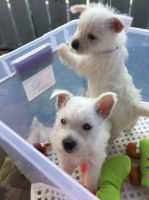 West Highland White Terrier Puppies for sale in Oklahoma City, OK 73101, USA. price: NA
