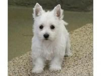 West Highland White Terrier Puppies for sale in Denver, CO, USA. price: NA