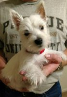 West Highland White Terrier Puppies for sale in Woodburn, IN 46797, USA. price: NA