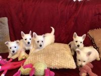 West Highland White Terrier Puppies for sale in AR-141, Jonesboro, AR, USA. price: NA