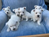 West Highland White Terrier Puppies for sale in Brownsburg, IN 46112, USA. price: NA