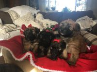 Wheaten Terrier Puppies for sale in Los Angeles, CA, USA. price: NA