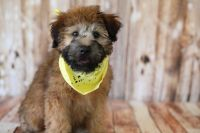 Wheaten Terrier Puppies for sale in Commerce City, CO, USA. price: NA