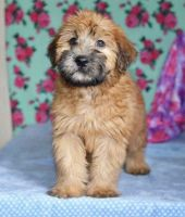 Wheaten Terrier Puppies for sale in Riverhead, NY 11901, USA. price: NA