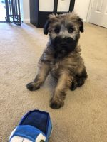 Wheaten Terrier Puppies for sale in Richmond, IN 47374, USA. price: NA