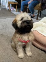 Wheaten Terrier Puppies for sale in Westerville, OH, USA. price: NA
