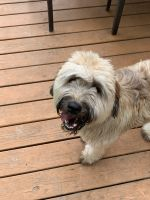 Wheaten Terrier Puppies for sale in Barnegat Township, NJ, USA. price: NA