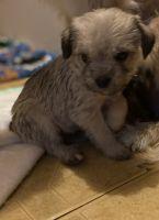 Wheaten Terrier Puppies Photos