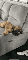 Wheaten Terrier Puppies for sale in Woodland Park, NJ 07424, USA. price: NA