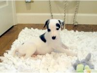 Whippet Puppies Photos