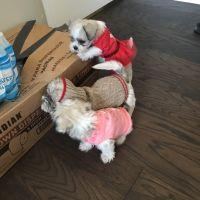White Schnauzer Puppies Photos