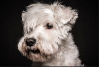 white schnauzer dog