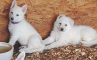 White Shepherd Puppies for sale in Billings, MT, USA. price: NA