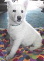 White Shepherd Puppies for sale in Omaha, NE, USA. price: NA