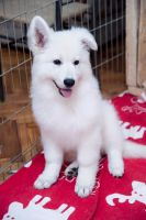White Shepherd Puppies for sale in Boston, MA, USA. price: NA