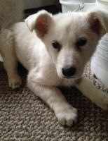 White Shepherd Puppies for sale in Birmingham, AL, USA. price: NA