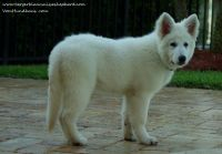 White Shepherd Puppies for sale in Brooksville, FL 34601, USA. price: NA