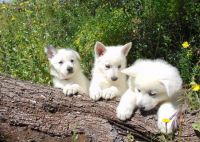 White Shepherd Puppies for sale in California, MD, USA. price: NA