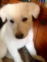 White Shepherd Puppies for sale in Uniontown, OH 44685, USA. price: NA