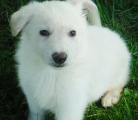 White Shepherd Puppies for sale in Seattle, WA, USA. price: NA