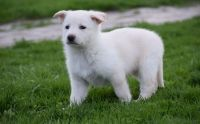 White Shepherd Puppies for sale in San Diego, CA, USA. price: NA