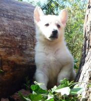 White Shepherd Puppies for sale in Georgetown, KY 40324, USA. price: NA