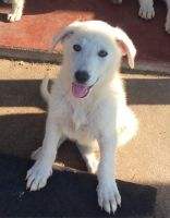 White Shepherd Puppies for sale in Bozeman, MT, USA. price: NA