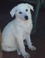White Shepherd Puppies for sale in West Lafayette, IN, USA. price: NA