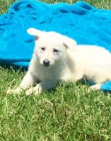 White Shepherd Puppies for sale in Rice, MN 56367, USA. price: NA