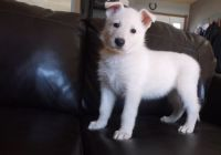 White Shepherd Puppies for sale in Decatur, AL, USA. price: NA