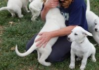 White Shepherd Puppies for sale in Winston-Salem, NC, USA. price: NA