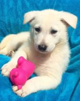 White Shepherd Puppies for sale in Fargo, ND, USA. price: NA