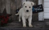 White Shepherd Puppies for sale in Hyattville, WY 82428, USA. price: NA