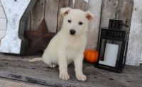 White Shepherd Puppies for sale in Michigan City, MS 38647, USA. price: NA