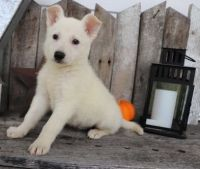 White Shepherd Puppies for sale in Duncanville, TX, USA. price: NA