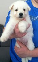 White Shepherd Puppies for sale in Louisville, KY 40210, USA. price: NA