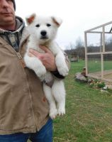 White Shepherd Puppies for sale in Harpersville, AL, USA. price: NA