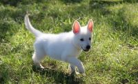 White Shepherd Puppies for sale in New York, NY, USA. price: NA