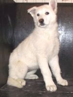 White Shepherd Puppies for sale in Morgan City, MS, USA. price: NA