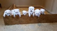 White Shepherd Puppies for sale in Chicago, IL, USA. price: NA