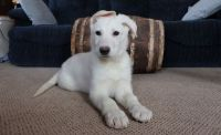 White Shepherd Puppies for sale in Bend, OR, USA. price: NA