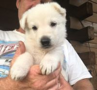 White Shepherd Puppies for sale in Flatgap, KY 41219, USA. price: NA