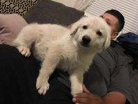 White Shepherd Puppies for sale in Banning, CA, USA. price: NA