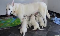 White Shepherd Puppies for sale in Baltimore, MD, USA. price: NA