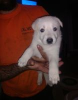 White Shepherd Puppies for sale in St. Louis, MO, USA. price: NA